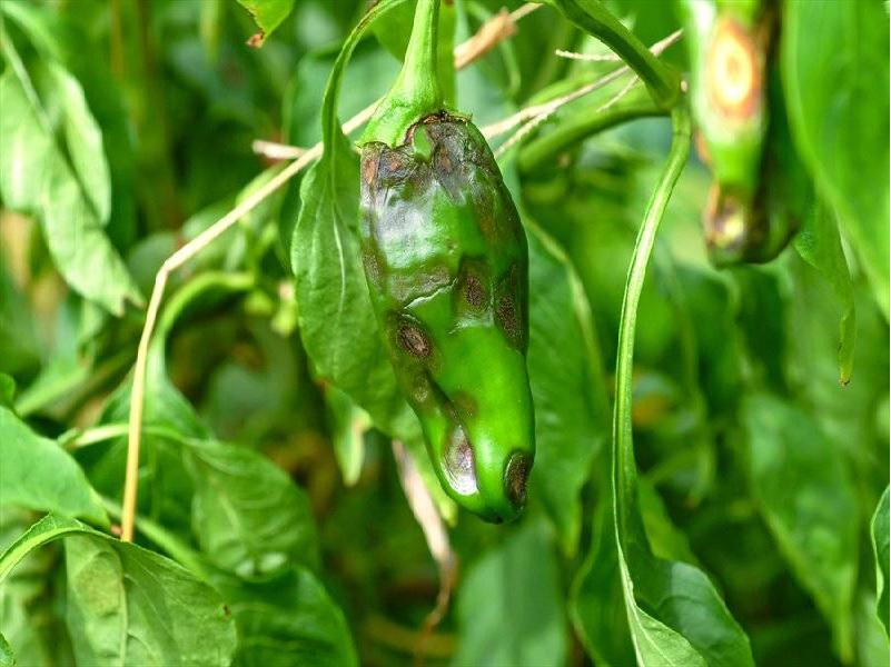 Chili disease (Image Credit - Google)
