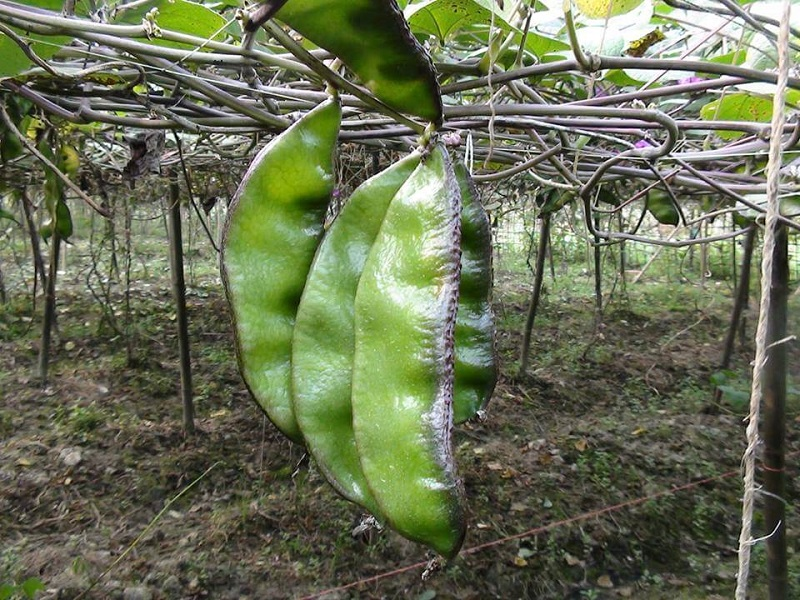 Bean (Image Credit - Google)