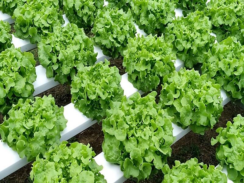 Lettuce farming (Image Credit - Google)