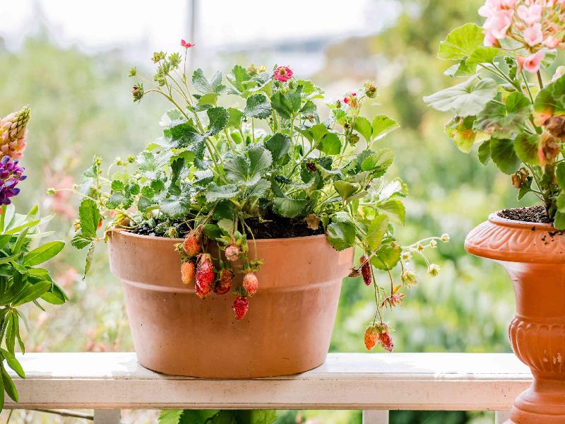 Strawberry farming (Image Credit - Google)