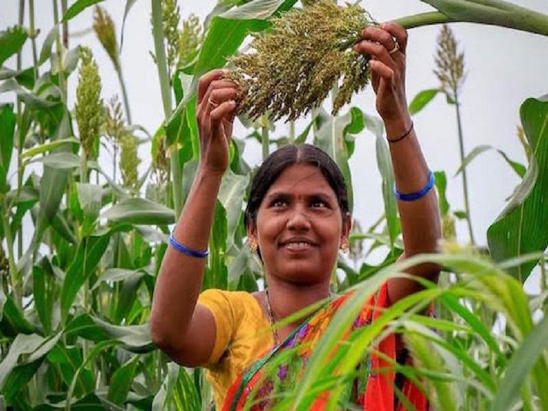 Bajra Crop (Image Credit - Google)